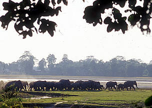 A herd leaves the Tarajulie Tea Estate, where they had taken up residence for several days, after ... / ©: WWF / Jan Vertefeuille