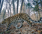 Nezhinskii is a male amur leopard (<i>Panthera pardus orientalis</i>). He was the first leopard that we photographed back in 2002 when we started experimenting with camera traps in this area.