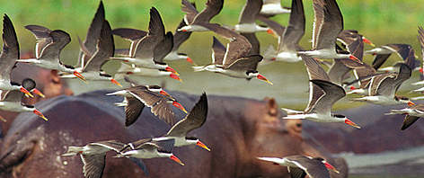 African skimmers (rhynchops flavirostris), Murchison Falls National Parc, Nile River, Uganda.  rel=