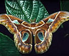 Moth in the Cloud Forest of western Andes Mountains, Ecuador.