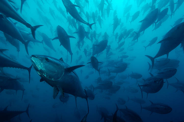 WWF's reaction to the first eco-certified bluefin tuna