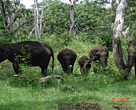 Wild Elephant in National Protected Area, Laos.