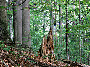 Some 300,000 hectares of old growth or primeval forest are thought to exist in the Carpathian Mountains.