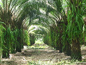 Oil palm plantations cover the ground to prevent erosion and control weeds.  	© WWF CARO