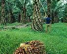Oil palm plantation, Sumatra, Indonesia.<BR>
