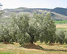 Olive farm, Andalucia, Spain.<BR>