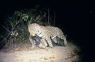 Giant anteater hunted by a jaguar in the Grande Sertão Veredas National Park / ©: Biotrópicos Institute