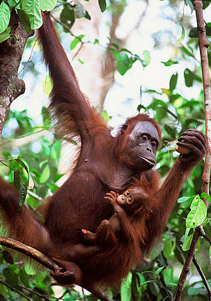 Mother & baby Orang-utan (<i>Pongo pygmaeus</i>), Nyaru Menteng, Central Kalimantan, Indonesia.