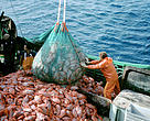 Emptying a mesh full of orange roughy into a trawler.