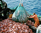 Industrial orange roughy fishery.<BR>