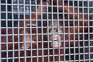 West Kalimantan Program, Orangutan, Borneo Orangutan, WWF-Indonesia, heart of borneo, HoB