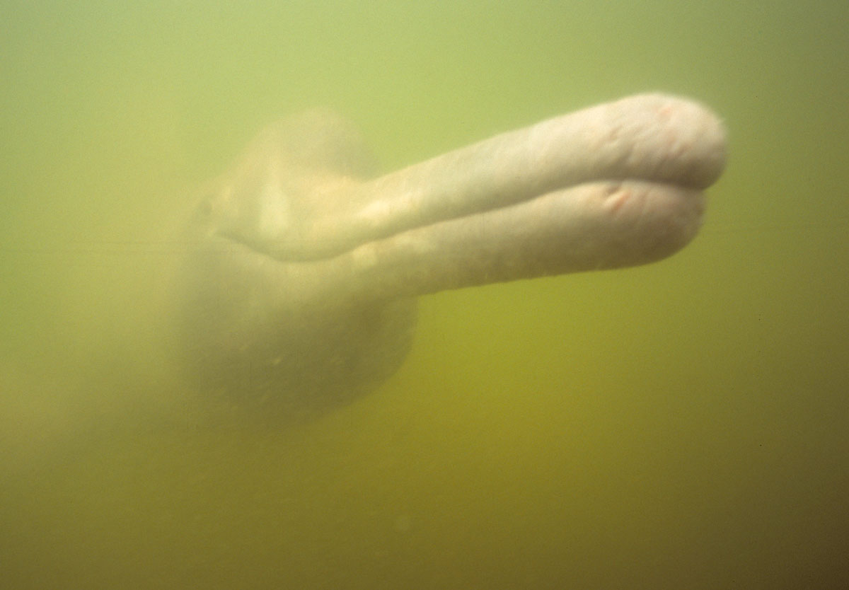 Yellow river dolphin - photo#10