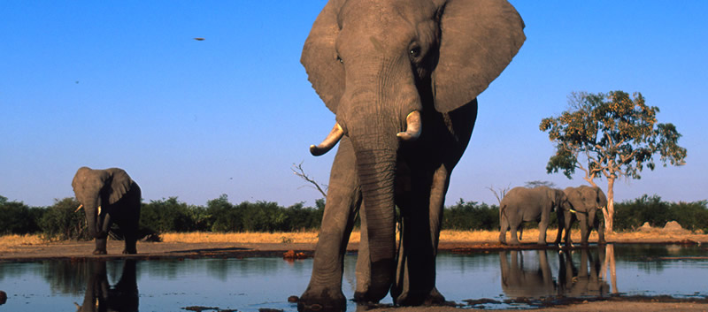 African elephant adult bulls drinking at water hole, Sub-Sarahan Africa.