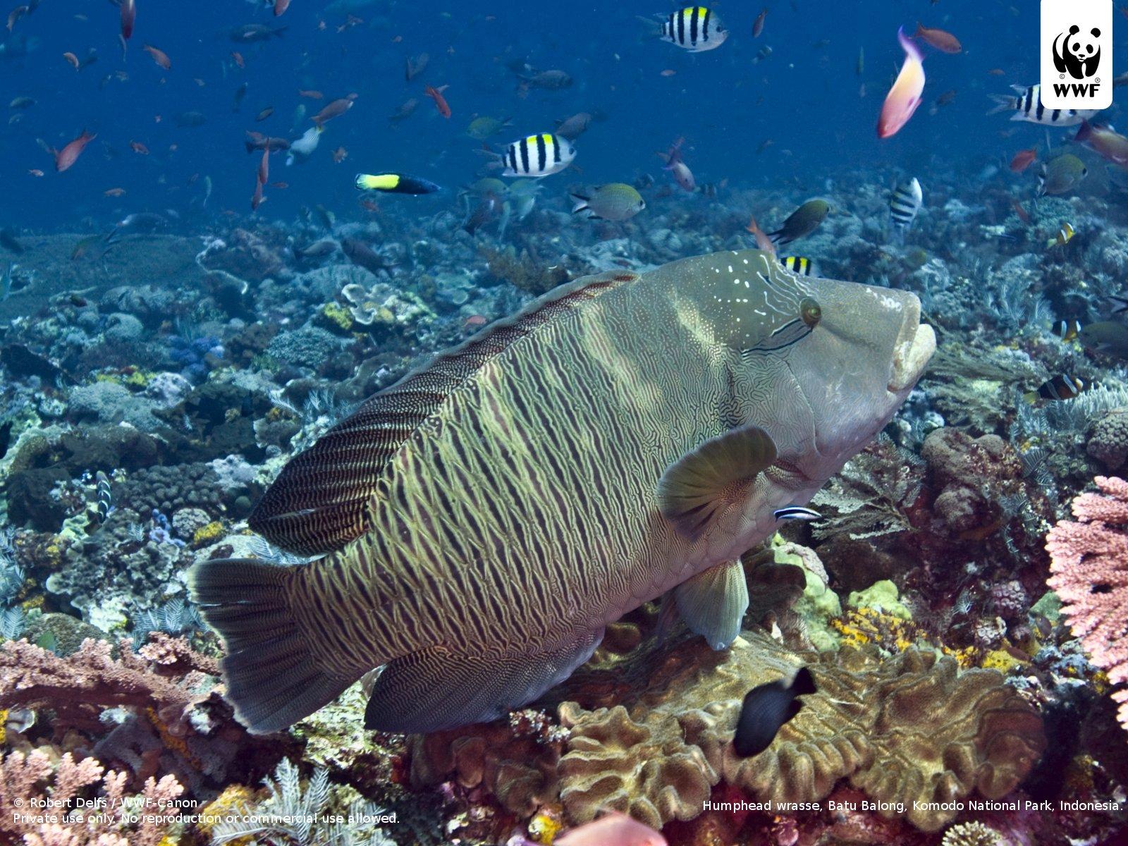 Large numbers of threatened reef fish still traded | WWF | 1600 x 1200 jpeg 424kB