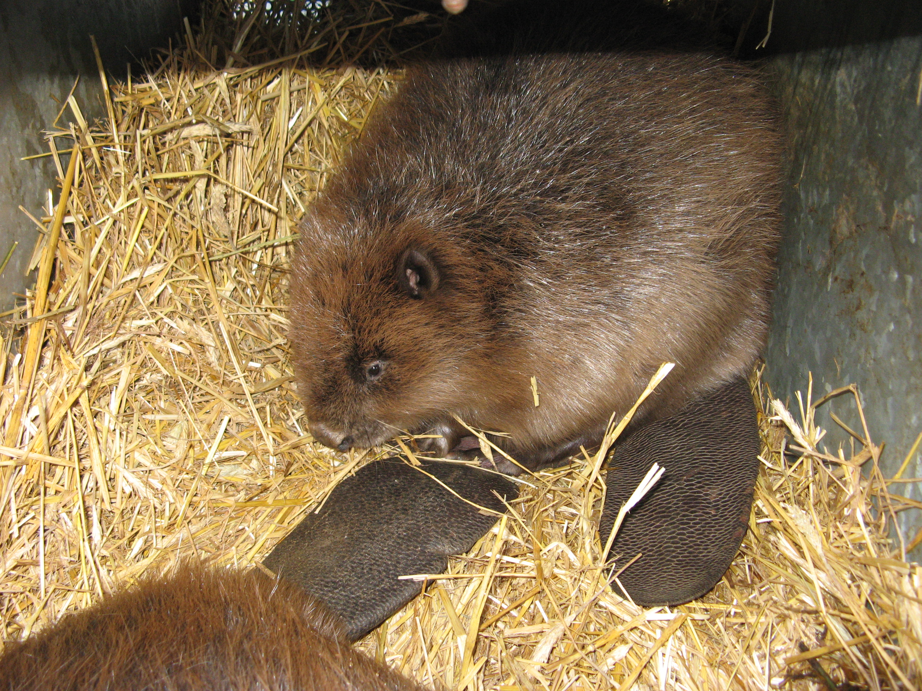 beavers come home as new landscape takes shape in hungary wwf