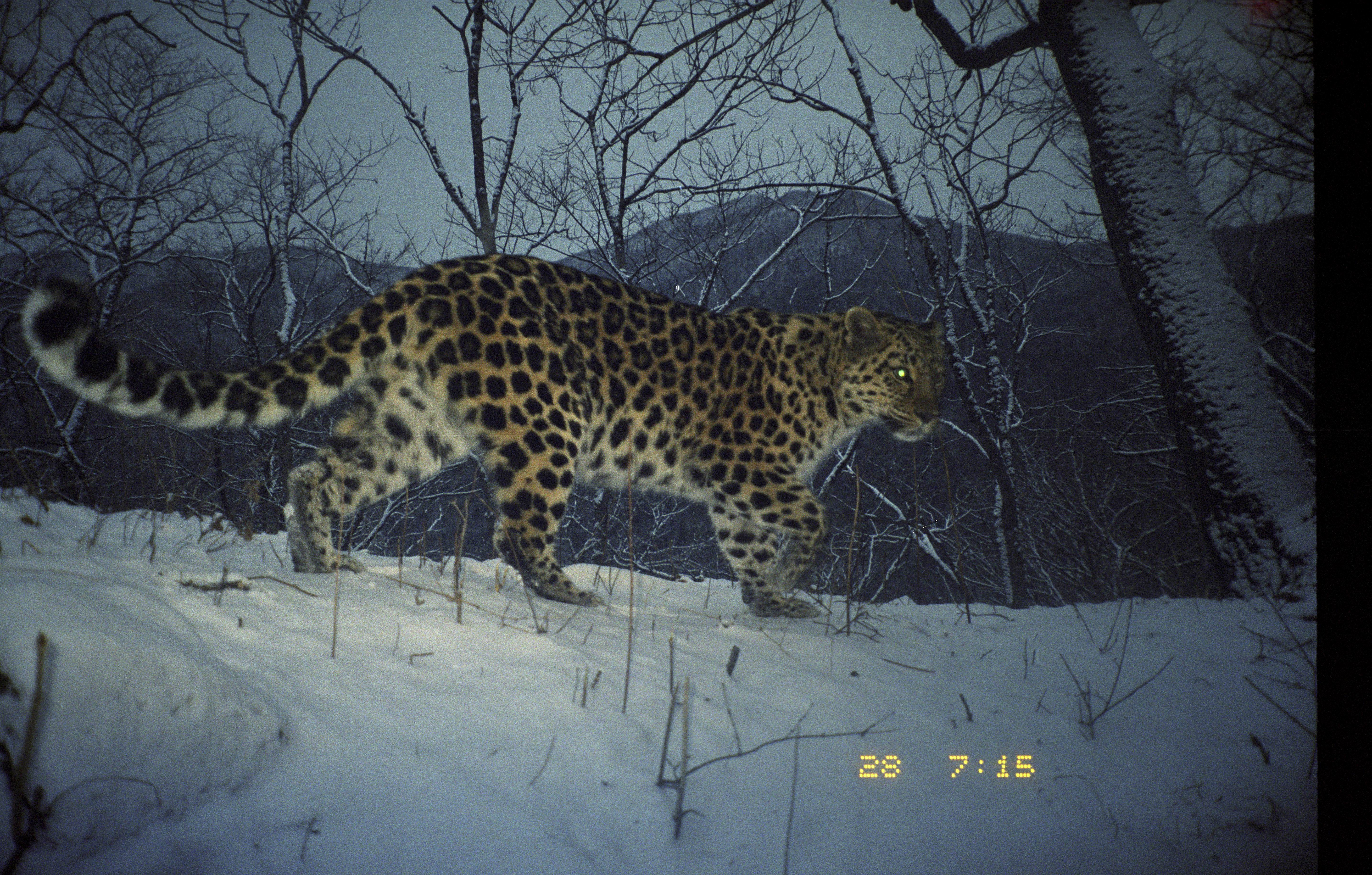 amur or the far eastern leopard world s The amur leopard, or panthera pardus  lives in the far eastern part of russia  what are some facts about the amur leopard a: quick answer.