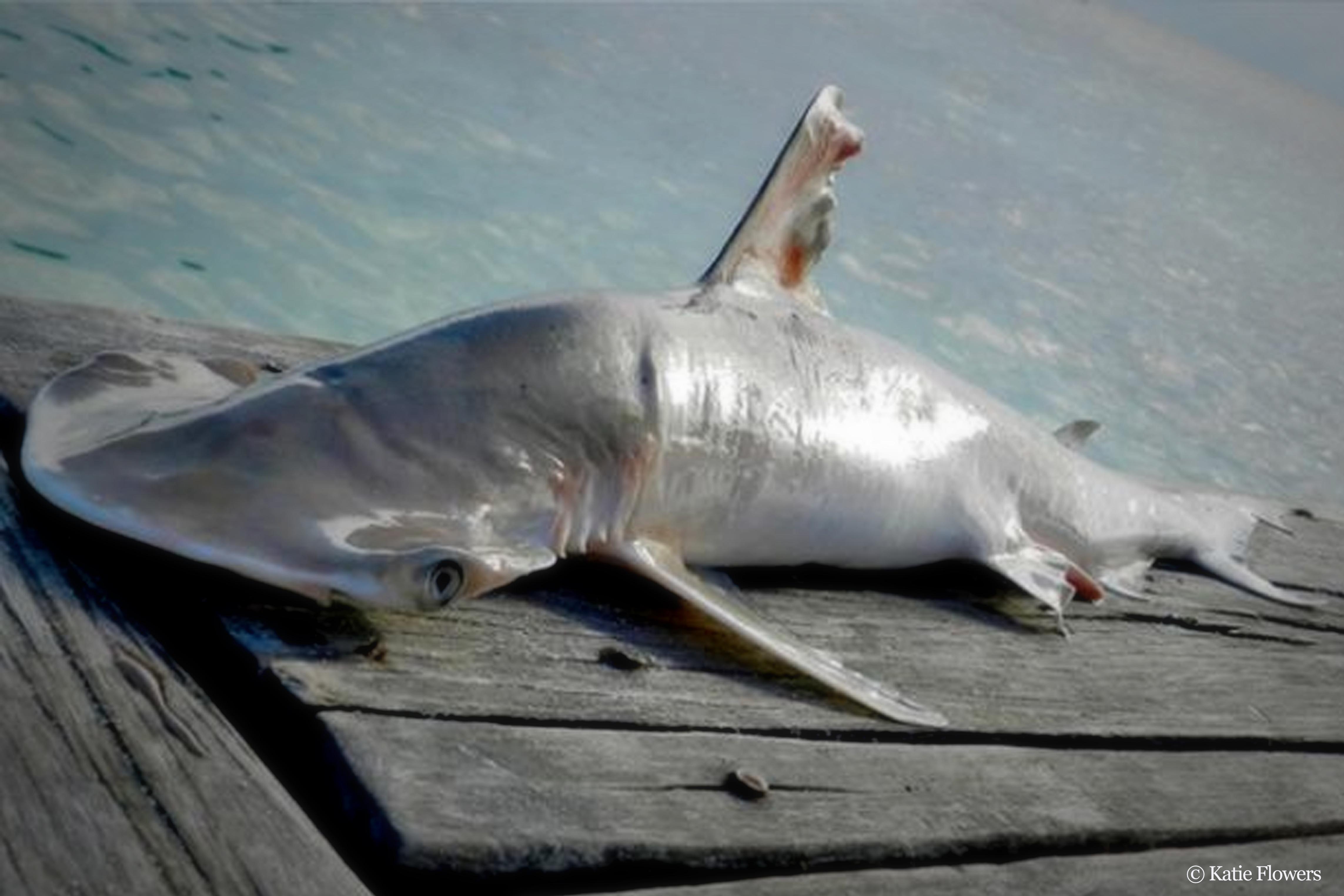 Ученые обнаружили новый вид акул