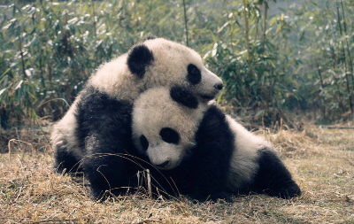 Facts about the Giant Panda | WWF