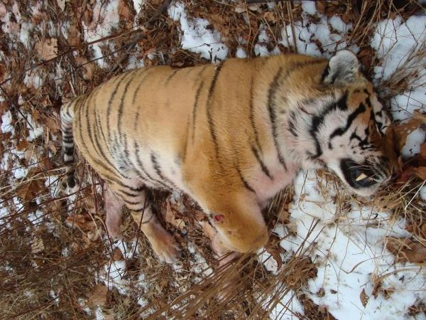 Tiger Killer Given Strong Punishment Wwf