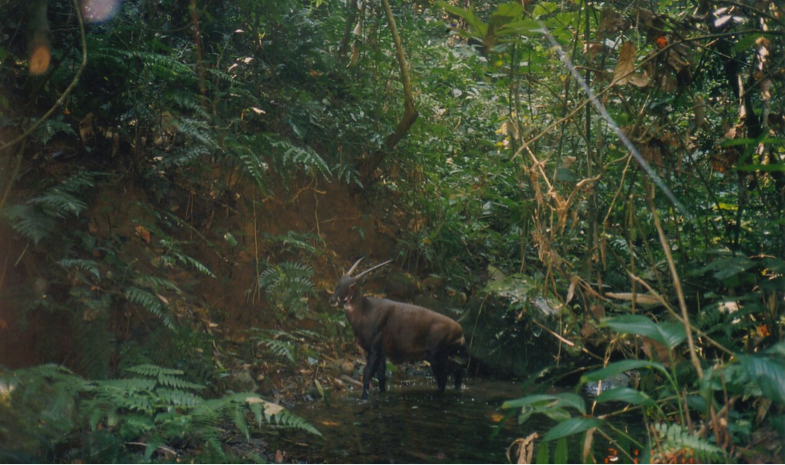 "World Saola Day: Conservationists Aim to Establish First Breeding Program for Asian ""Unicorn"""