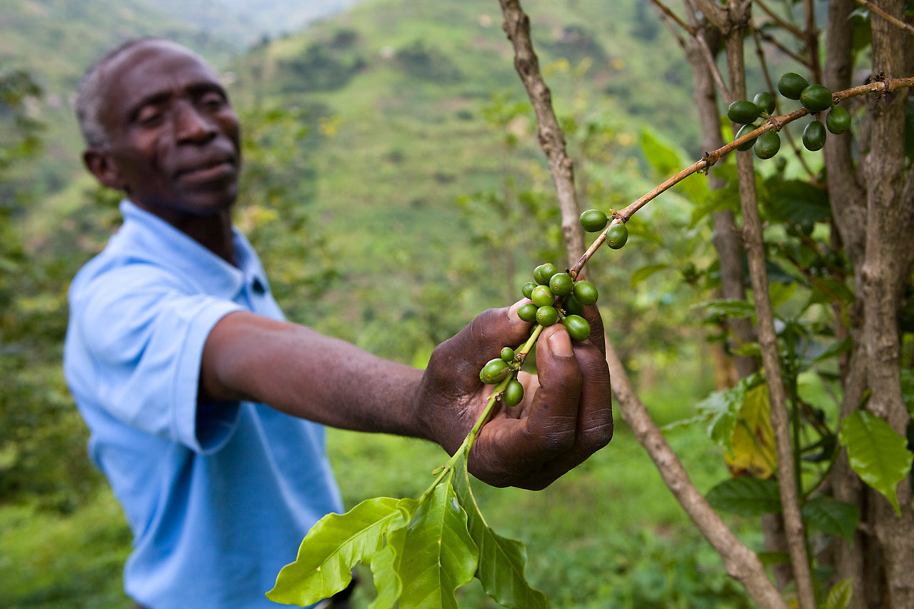 Mbiwo Constantine Kusebahasa, in Kasese, Rwenzori Mountains, Uganda at the Forest Landscape Restoration programme in Rukoki Sub-County.  Coffee plants are showing very low volumes of fruit, an example of climate change.