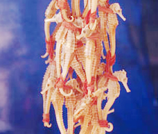 Seahorses are one of many species sold as souvenirs for tourists in Vietnam.