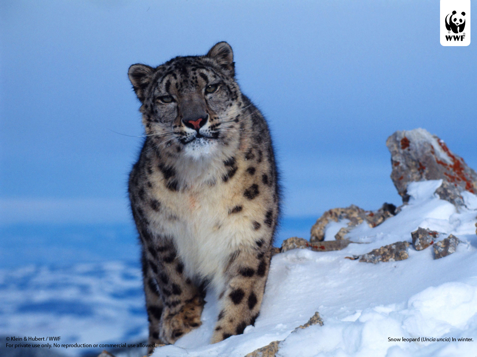 Snow leopard (Uncia uncia) in winter.