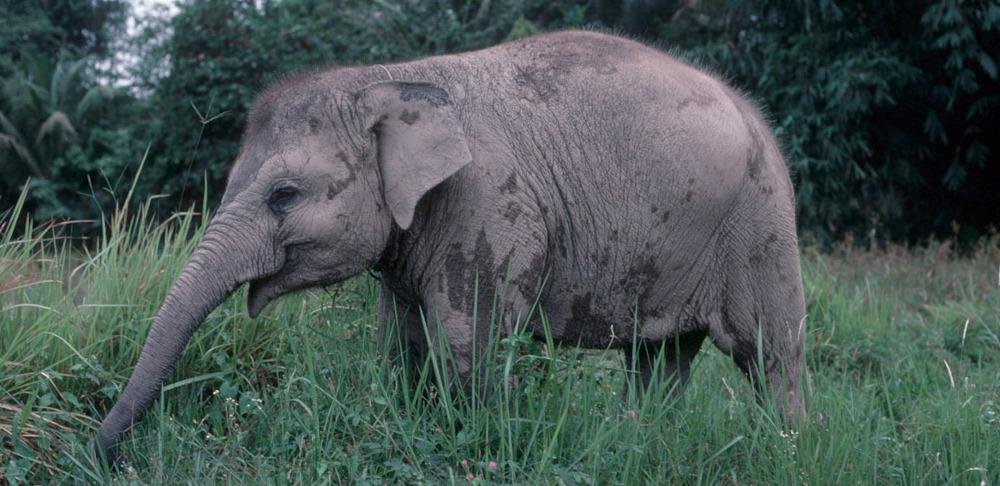 sumatran elephant pforster7741 1 jpgSumatran Elephant