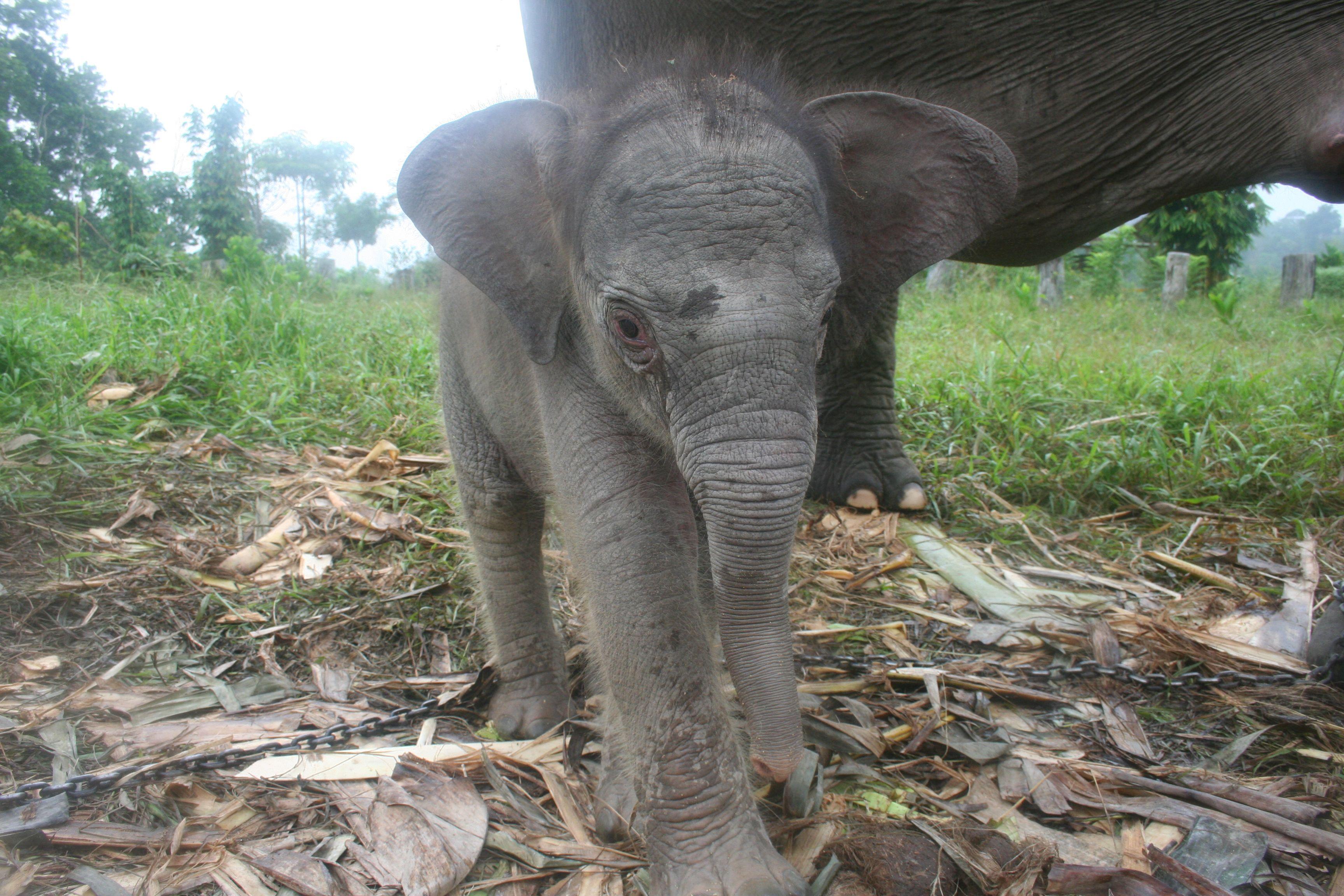 sumatran elephant syamsuardi jpgSumatran Elephant