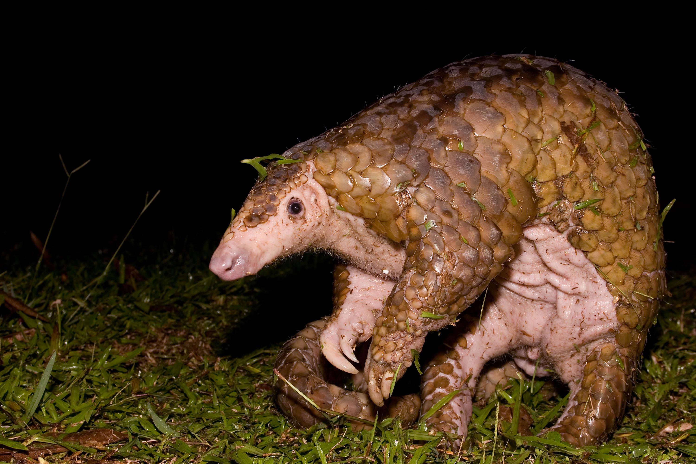 Sunda_pangolin on Animals And Their Habitats