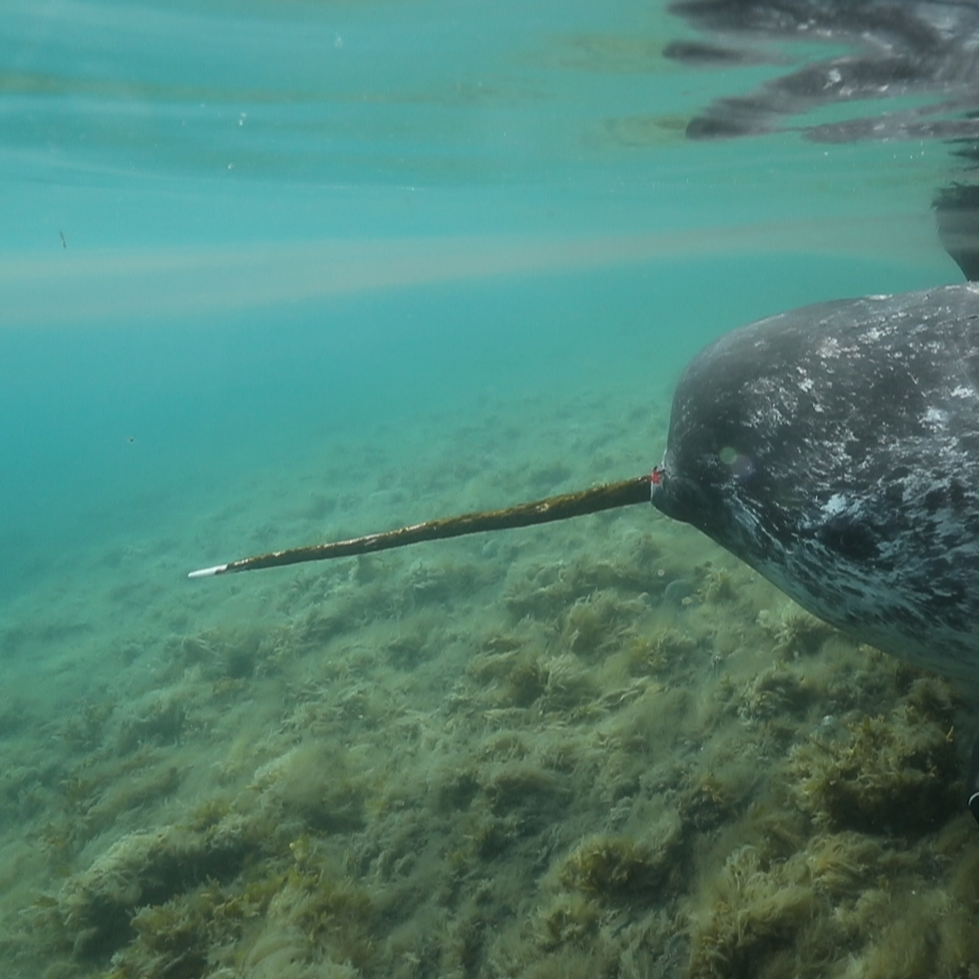 video reveals clue to the mystery of the narwhal tusk wwf