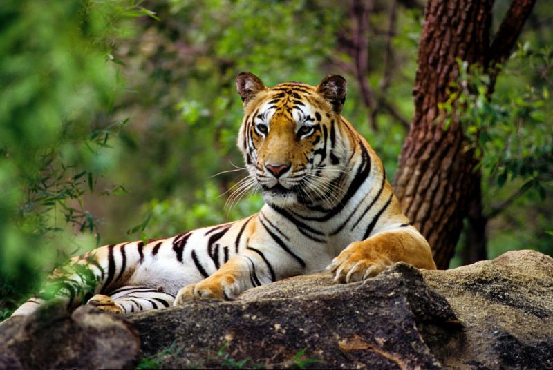 Macan India | Foto: Vivek R. Sinha / WWF