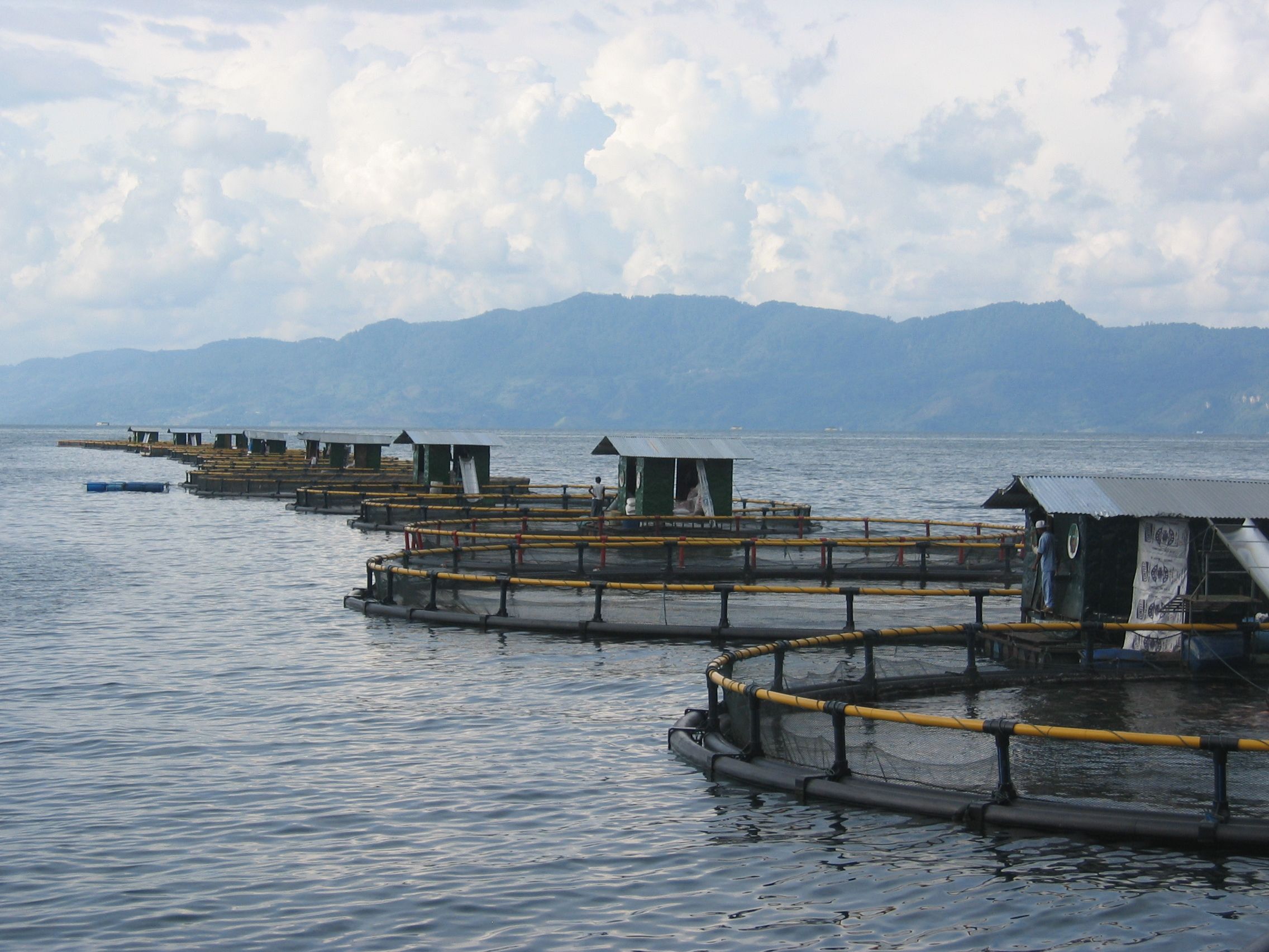 Indonesia and honduras tilapia swim into seafood guide for Tilapia swimming