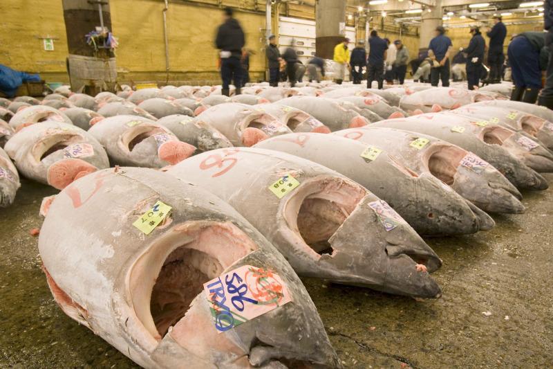 Япония ограничит вылов голубого тунца  в Тихом океане