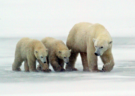 Mother Polar bear (Ursus maritimus) with her cubs walking on ice near Churchill, Manitoba, Canada.