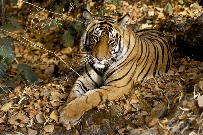 Tiger (panthera tigris) lying on dried leaves, India.