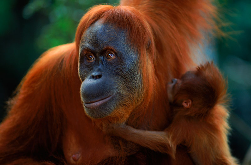Sumatran orang utan (Pongo abelii) female 'Suma' reunited with male baby 'Forester' (part of baby snatching story)  Gunung Leuser NP, Sumatra, Indonesia