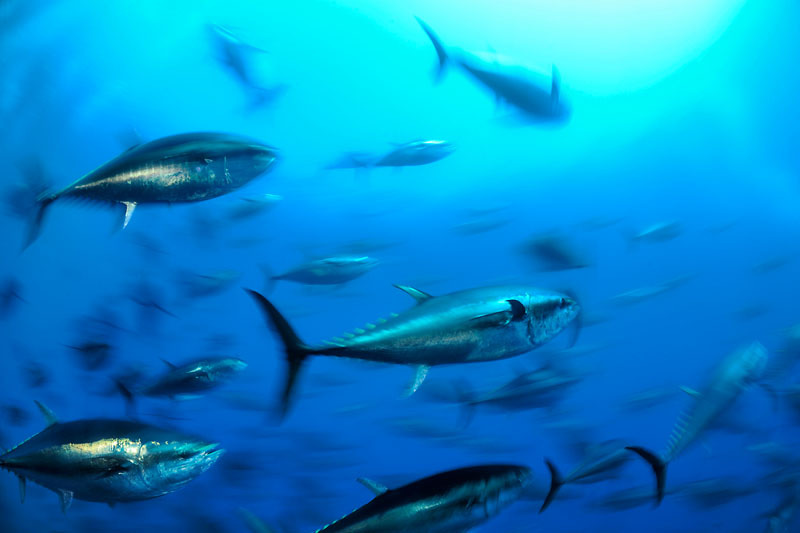 Complete failure of ICCAT. EU and fishing nations leave the door open to criminal activities an