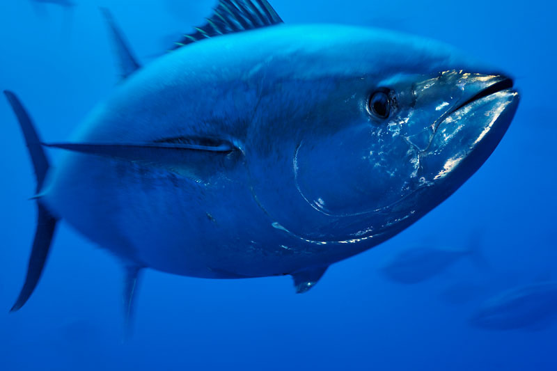 Mediterranean Bluefin Tuna Will Recover If Conservation