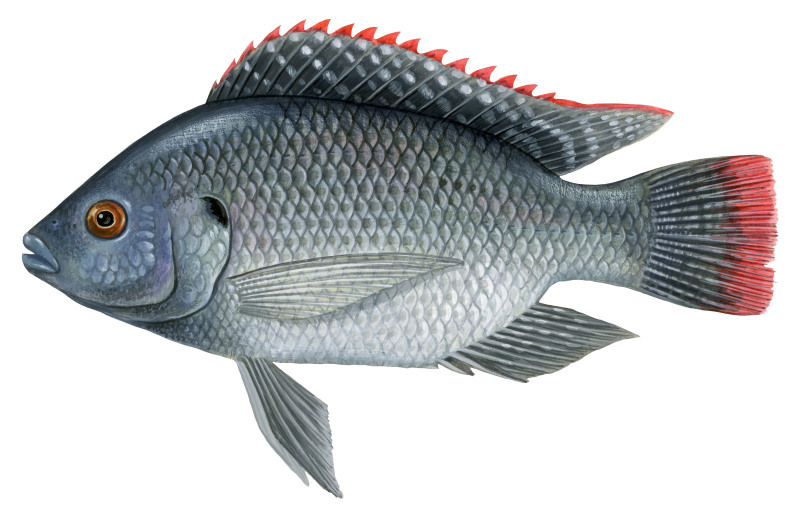 Invasive exotic species and protected areas wwf for Scientific name of fish