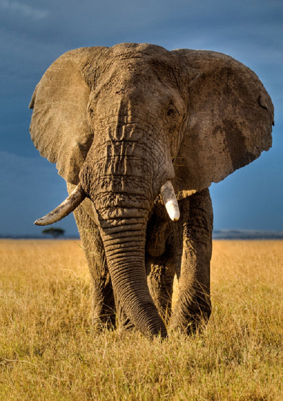 No reduction in poaching pressure as african elephant population like this article biocorpaavc Gallery