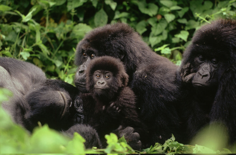 Mountain gorilla Family interaction during midday rest.