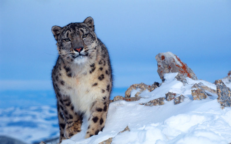 Endangered Snow Leopard Habitat Threatened By Climate Change Wwf