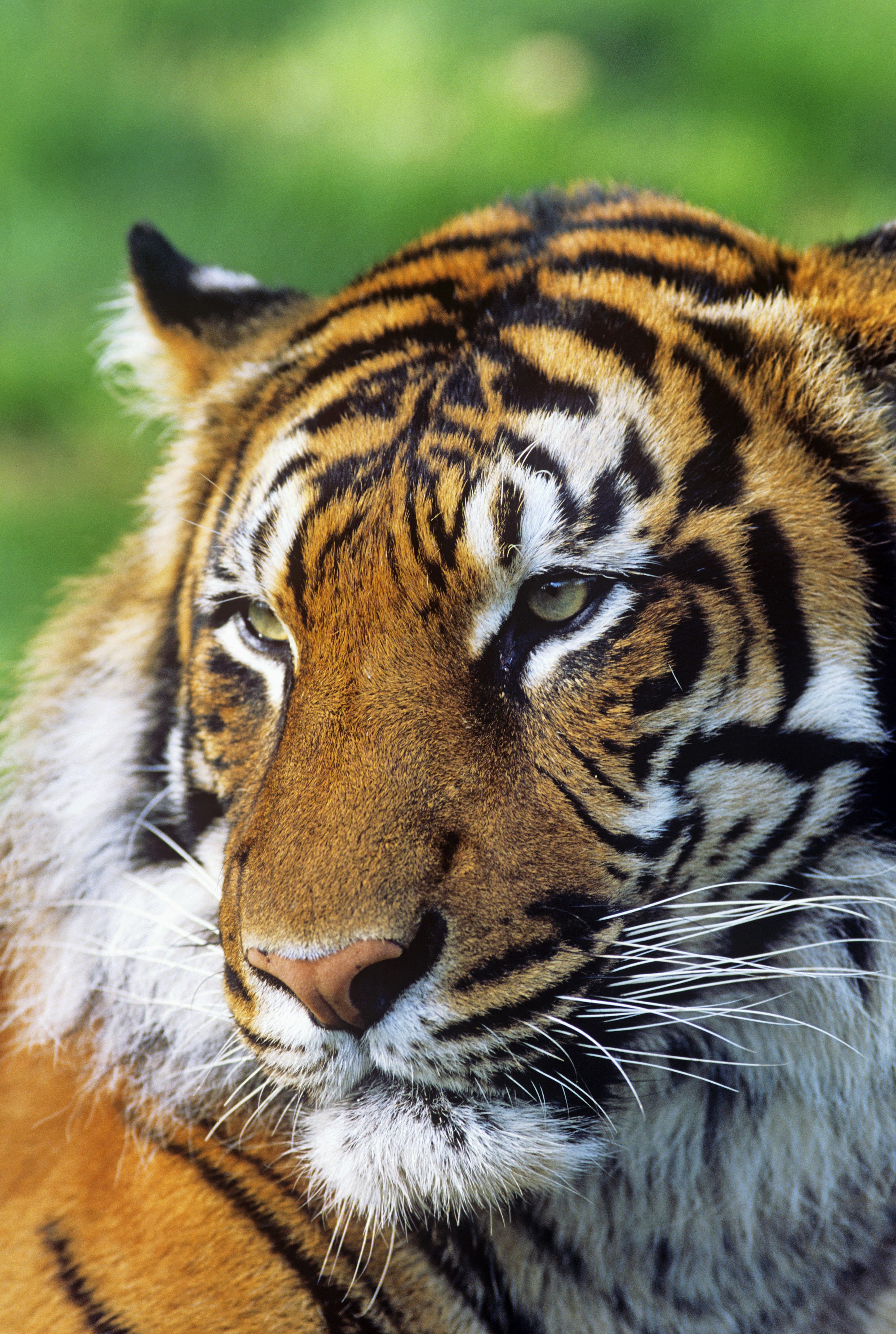 Global Tiger Day 2014 – Global Wild Tiger Numbers Unknown ...