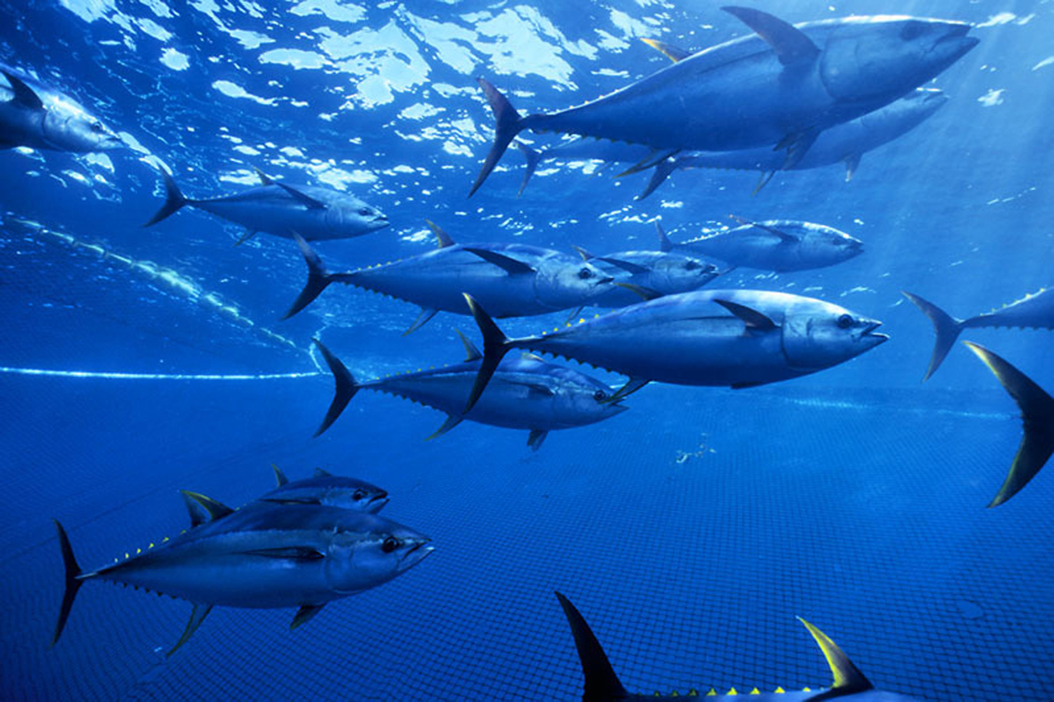 Wwf deeply concerned over imminent certification of mexican tuna enlarge xflitez Choice Image