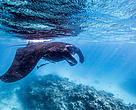 A manta ray (Manta Birostris) swims off Heron Island Research Station, Queensland, Australia.