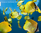 Schooling Lemon butterflyfish, Maui, Hawaii