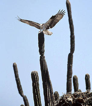 An osprey (Pandion haliaetus) lands on a cactus next to its nest on Tiburón Island, Sonora, Gulf of ... / ©: Edward Parker / WWF