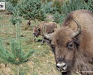 The Tarcu bison are being monitored by WWF experts