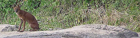 A lone dhole photographed next to a river in eastern Cambodia rel=